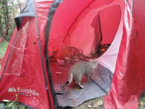 A cat explores a tent